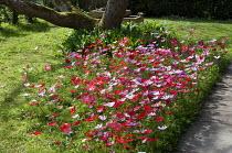 Anemone hortensis syn. Anemone stellata in dappled shade