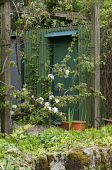 Trained apple espalier, rustic corrugated iron shed