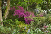 Border with Rhododendron (Obtusum Group) 'Amoenum Coccineum' under acer, camassias
