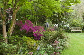 Border with Rhododendron (Obtusum Group) 'Amoenum Coccineum' under acer, camassias, view to bench