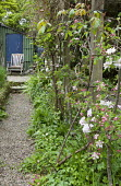 View along gravel path to wooden chair, blossom on espaliered apple trees