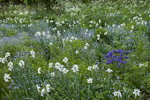 Sloping border with Forget-me-nots and Narcissus poeticus var. recurvus