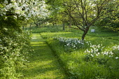 Mown paths, Narcissus poeticus var. recurvus in orchard