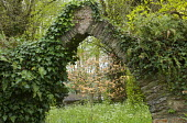 Ivy-covered stone arch framing acer