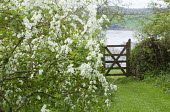 Exochorda x macrantha 'The Bride', gate, view to river