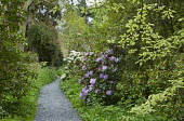 Path through woodland with rhododendrons