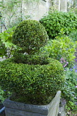 Clipped box topiary in container