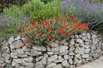 Helianthemum 'Henfield Brilliant' in stone-filled gabions