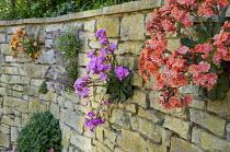Dry-stone wall with lewisias, including Lewisia cotyledon Ashwood strain