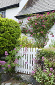 Rosa 'American Pillar' around doorway, Centranthus ruber by white picket gate