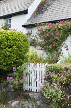 Rosa 'American Pillar' around doorway, Centranthus ruber by white picket gate