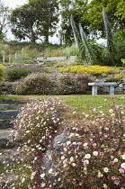 Erigeron karvinskianus, echiums, stone bench
