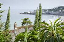Echium pininana, view over rooftop to sea