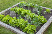 Timber edged raised bed with lettuces and cabbages with wire mesh plant protectors
