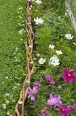 Cosmos bipinnatus, woven willow edging, flowering clover in lawn