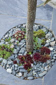 Sempervivums and pebble mulch around base of tree in slate paving