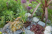 Sempervivums and echeveria in top of stone wall, phormium, allium, euphorbia