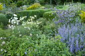 Aquilegia vulgaris, nepeta, clipped box cubes