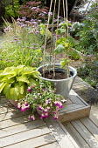 Cucumber 'Fernspot', Fuchsia 'Eva Boerg' and hosta in containers, Verbena bonariensis
