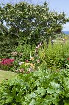 Coastal garden, Cotoneaster lacteus, Sweet William, acanthus, Alstroemeria ligtu hybrid, Rosa Bonica = 'Meidomonac'