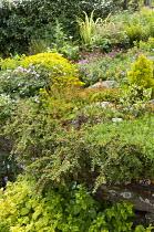 Euphorbia and Geranium sanguineum 'Album' on wall, Cotoneaster horizontalis