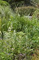 Geranium, Rodgersia podophylla and grasses in border, Leymus arenarius, bench