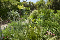 Garden garden with exotic planting, Echium vulgare 'Blue Bedder', Trachycarpus fortunei, Dicksonia antarctica, gazania, Astelia chathamica