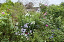 Cottage garden border, aster, roses, geranium, phlox