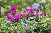 Cyclamen in container