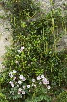 Itea ilicifolia on stone wall, anemone