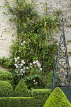 Itea ilicifolia on stone wall, anemone, metal obelisk, clipped box shapes