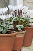 Cyclamen in terracotta containers