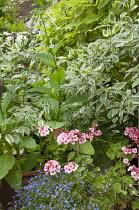 Pelargoniums, lobelia, cornus