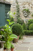 Clipped box ball in container, Nicotiana sylvestris, head mask on stone wall
