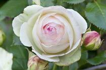 Rosa 'Eden Rose' syn. Rosa 'Pierre de Ronsard'