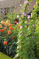 Ipomoea purpurea 'Crimson Rambler', Dahlia 'Geerlings' Indian Summer', Leonotis nepetifolia var. nepetifolia 'Staircase'