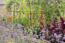 Arch with Ipomoea purpurea 'Crimson Rambler', Verbena bonariensis, Amaranthus 'Velvet Curtains'