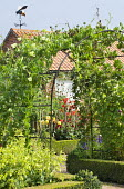 Arch with climbing annuals, Cobaea scandens, Morning Glory, shed with bee weathervane