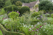 Cottage garden border with clipped box edging, clipped yew shapes, Cosmos bipinnatus, Verbena bonariensis, Foeniculum vulgare