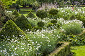 Topiary and Argyranthemum frutescens in clipped box-edged borders