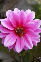 Dahlia 'Fascination', hoverfly
