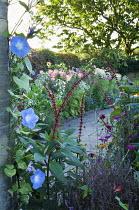 Ipomoea tricolor 'Heavenly Blue', Salvia confertiflora