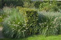 Pennisetum alopecuroides 'Gelbstiel', dividing beech hedge