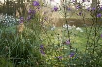 Vernonia arkansana 'Mammuth' syn. Vernonia crinita, Miscanthus nepalensis