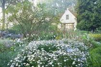 Kalimeris incisa 'Madiva', white cottage, Persicaria amplexicaulis