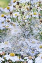 Kalimeris incisa 'Madiva', spider webs