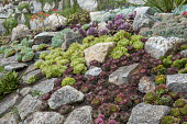 Sempervivums and drought-tolerant succulents in rock garden, Echeveria elegans