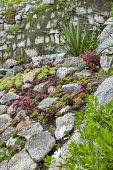 Sempervivums and drought-tolerant succulents in rock garden