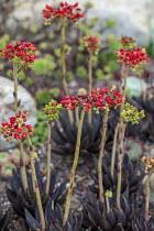 Echeveria affinis 'Black Prince'
