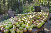 Harvested cooking apples on table